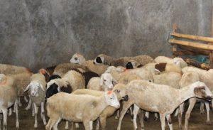 Aqiqah Kambing dan domba